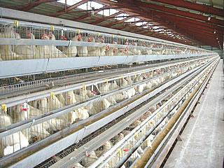 衣鳩養鶏の鶏舎内部