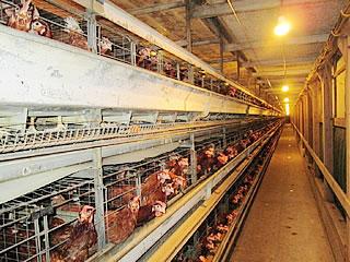 (有)キミシマファームの鶏舎内部