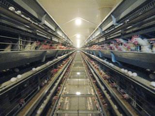 丸一養鶏場の農場写真
